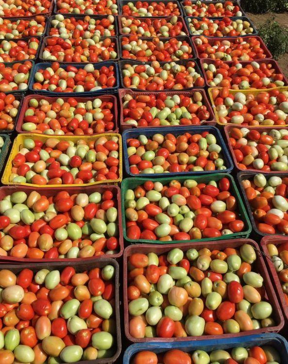 Resultado de imagem para tomate no mercado do produtor